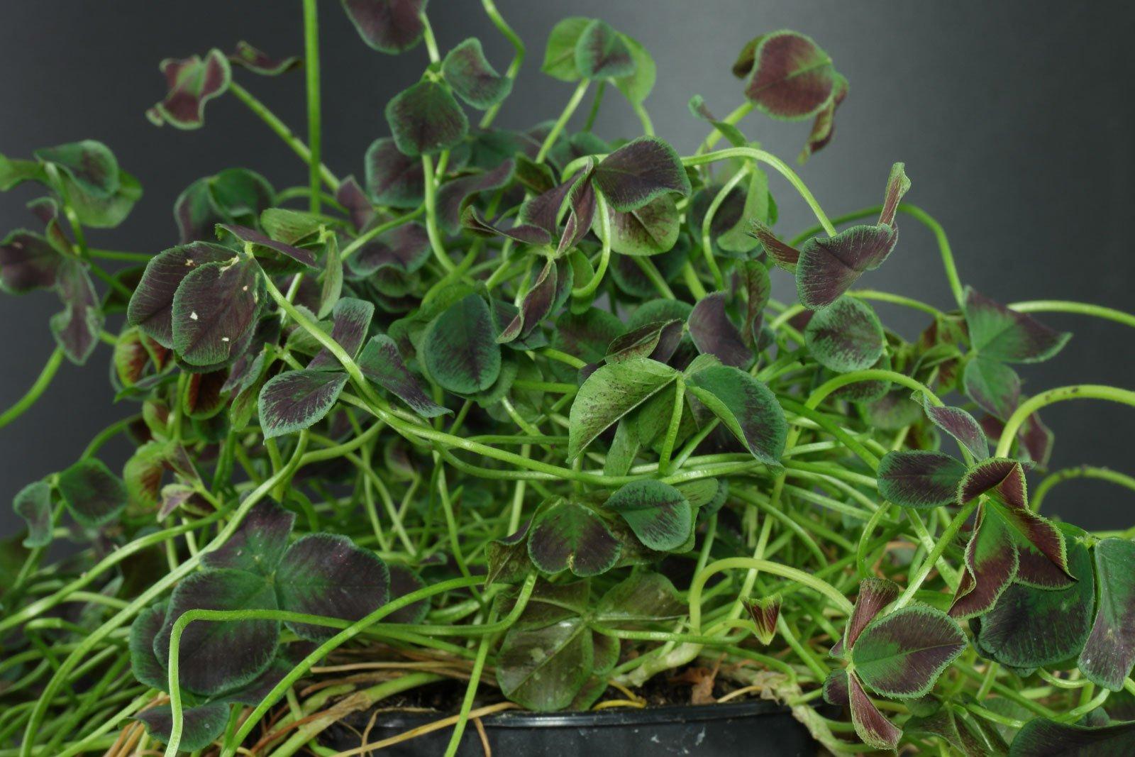 Trifolium repens Estelle