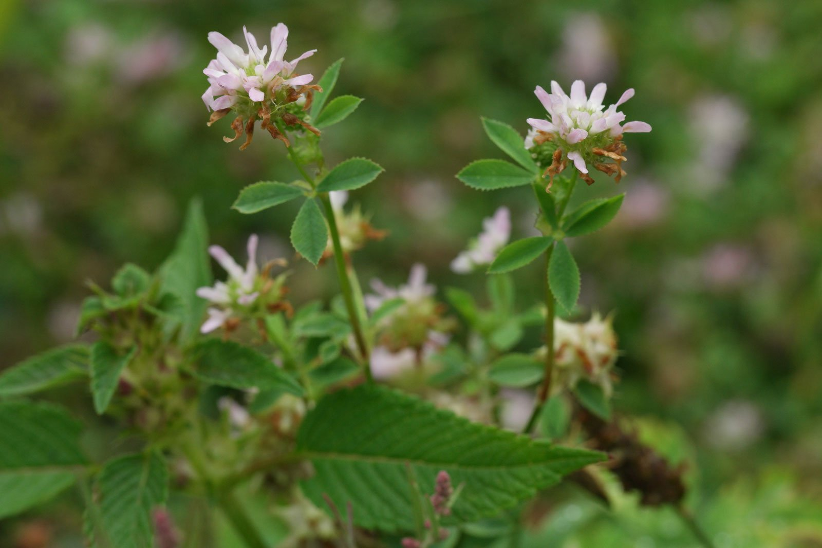 Trifolium resupinatum