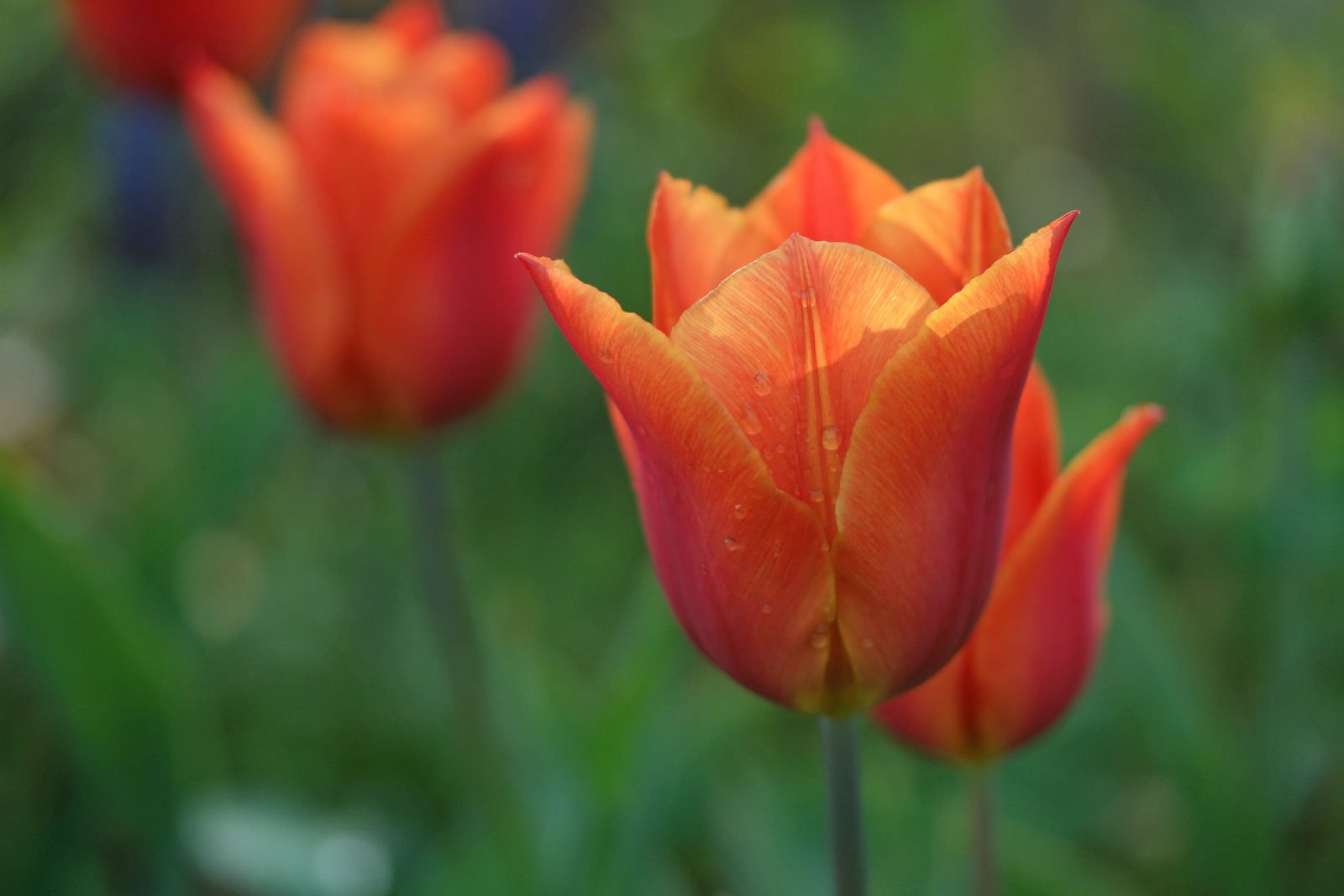 Tulipa fosteriana Orange Emperor