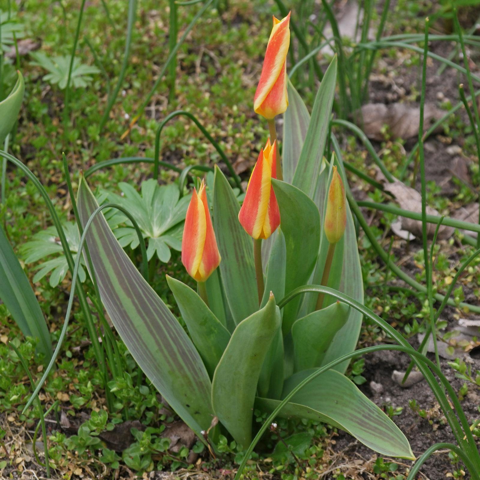 Tulipa greigii cv.