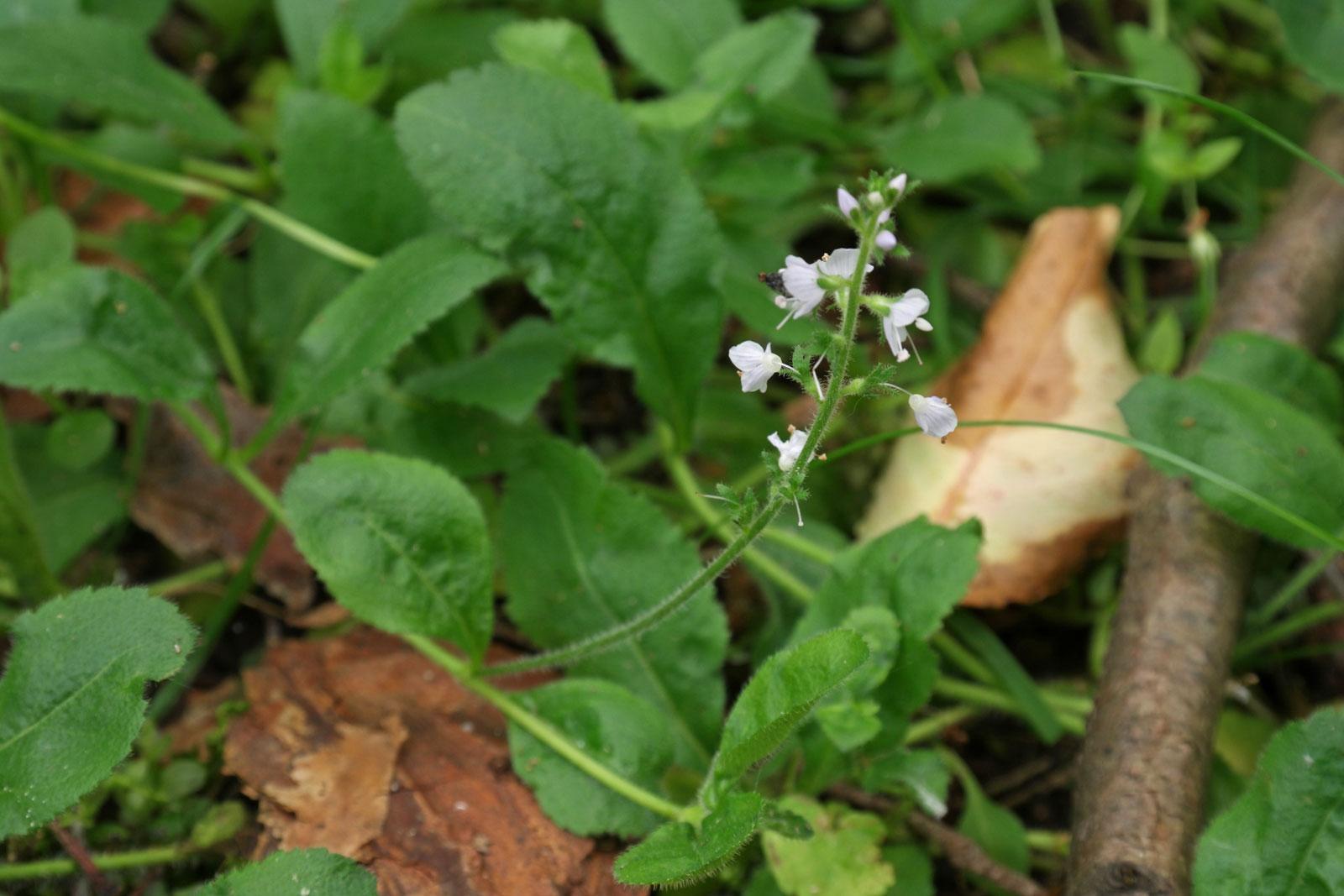 Veronica officinalis