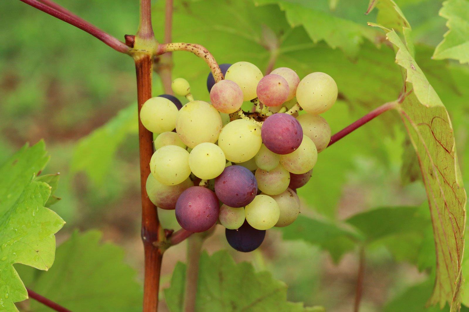 Vitis vinifera ssp. vinifera
