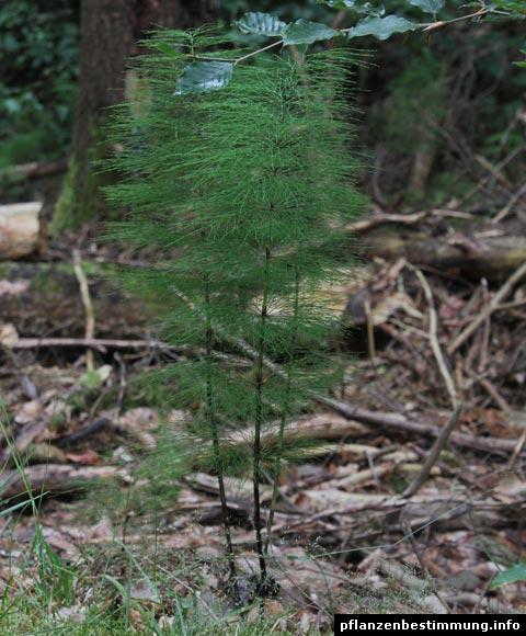 Wald-Schachtelhalm