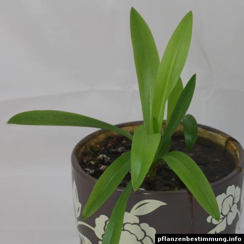 Wasserorchidee