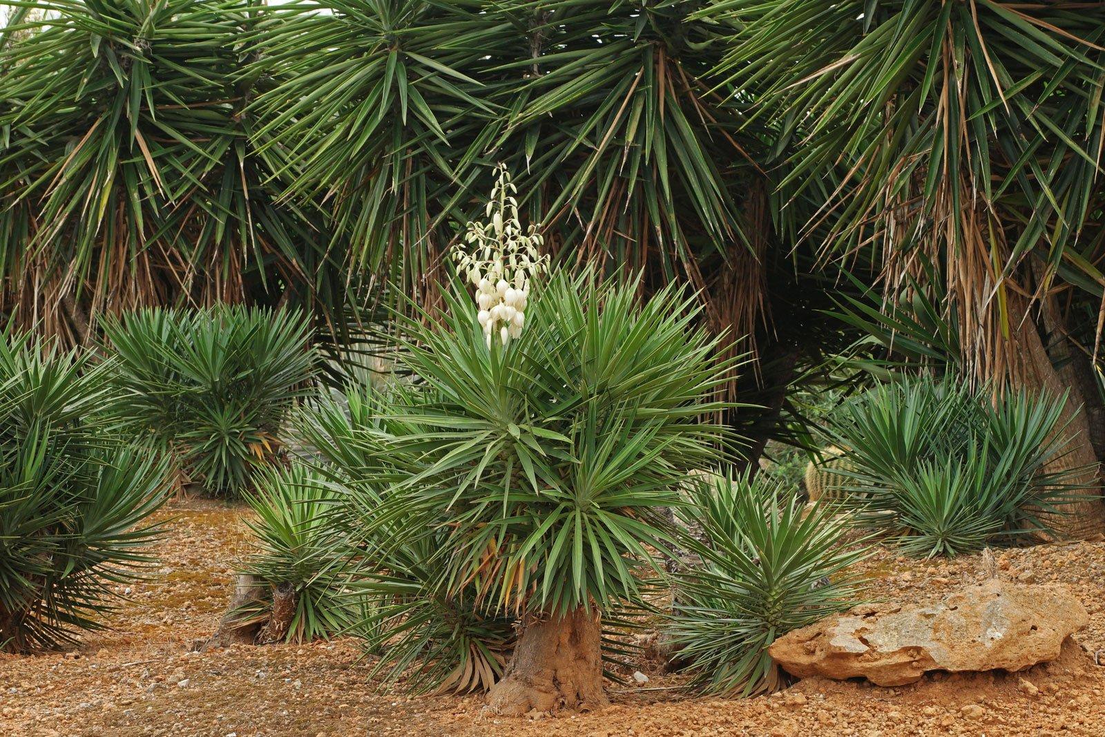 Yucca gigantea