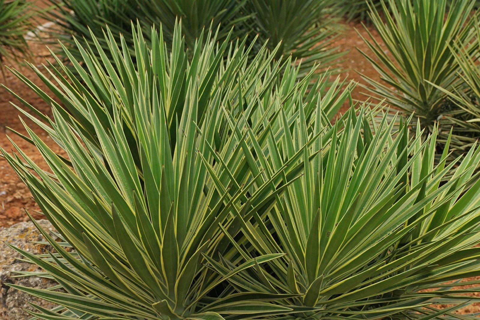 Yucca sp. Variegata