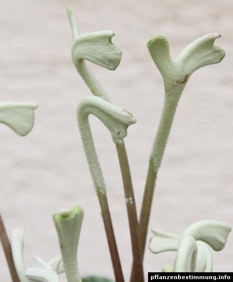 Zwergpfeffer-Blüten