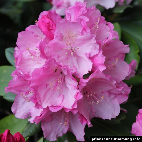rhododendron pink
